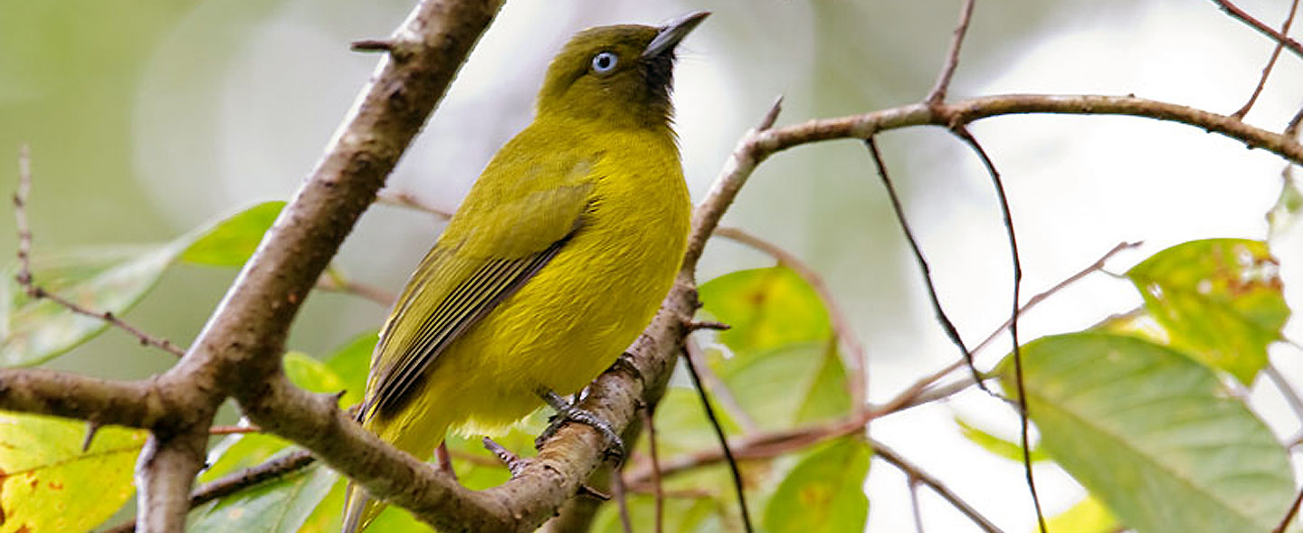 Andaman Islands Endemic Birding Tour