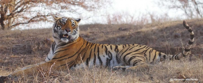 Tiger Safaris at Bandavgarh & Kanha